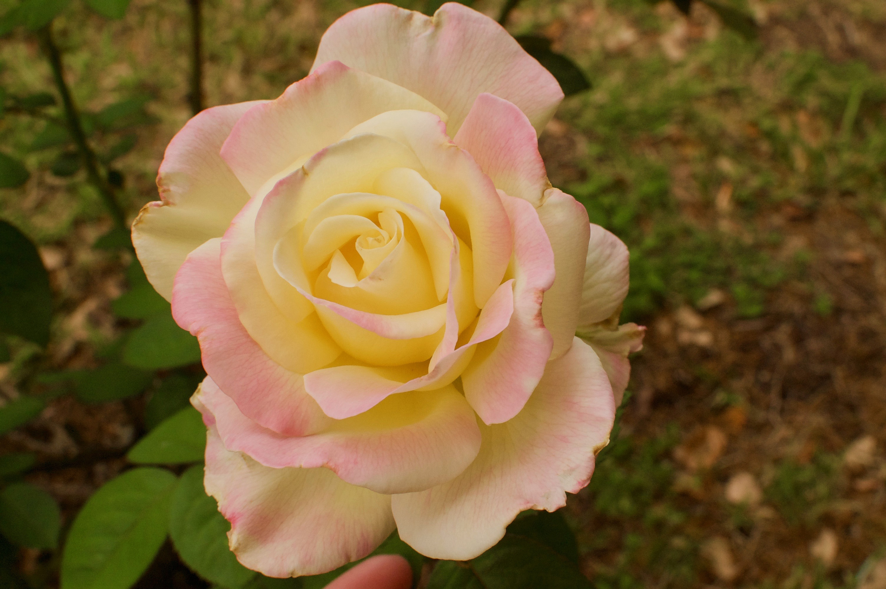 How I Finally Identified the Mystery Rose Bush in My Yard