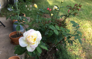 The Little Rose Bush That Could