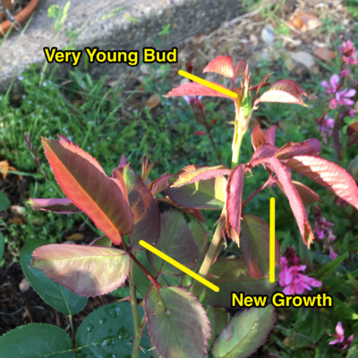 Stunted new growth on Peace.